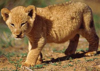 лев маленький